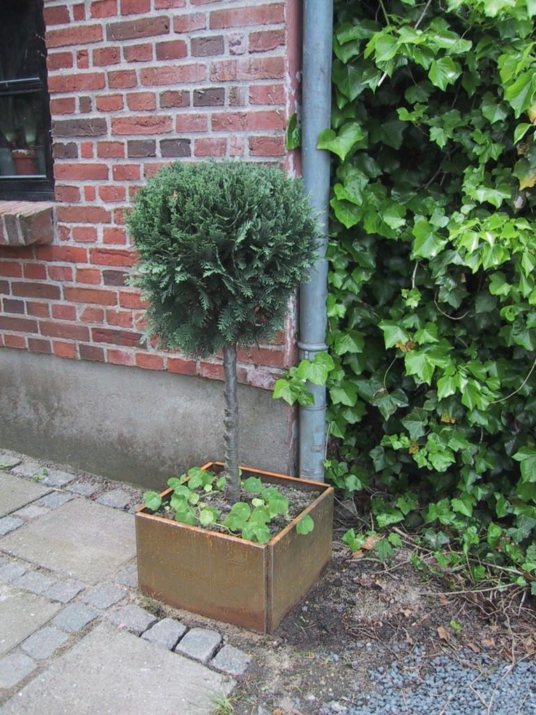 opstammet stedsegrøn busk i højbed