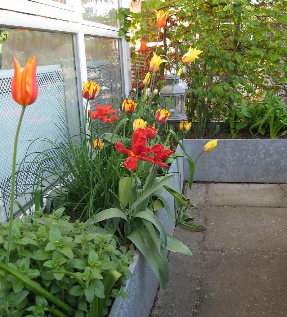 plantekummer med tulipaner