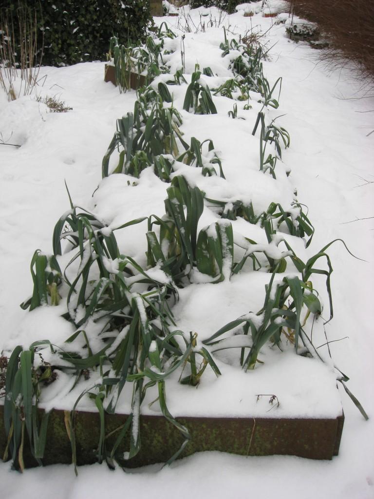 lang plantekumme med porrer i sne